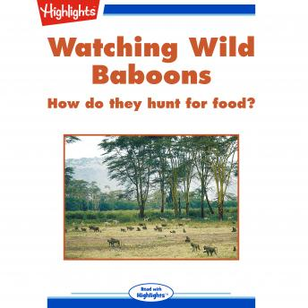 Watching Wild Baboons: How do they hunt for food?